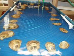 Oysters Are Set Up in a Neat Row During Spawning